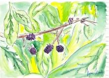 blackberries (Cheyenne)
